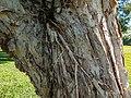 Melaleuca quinquenervia adventitious roots 7th Brigade Park Chermside L1020100.jpg
