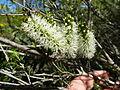 Melaleuca rhaphiophylla (flowers).JPG