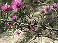 Melaleuca sclerophylla fruit.jpg