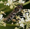 Melangyna umbellatarum (female) - Flickr - S. Rae (3).jpg