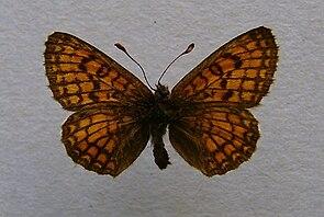 Melitaea parthenoides.jpg