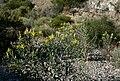 Mentzelia laevicaulis 9.jpg