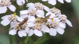 File:Meromyza sp. on Achillea millefolium.ogv