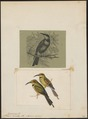 Merops ornatus - 1700-1880 - Print - Iconographia Zoologica - Special Collections University of Amsterdam - UBA01 IZ16800345.tif