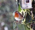 Merry Christmas 2010 - Robin at the Feeder.jpg