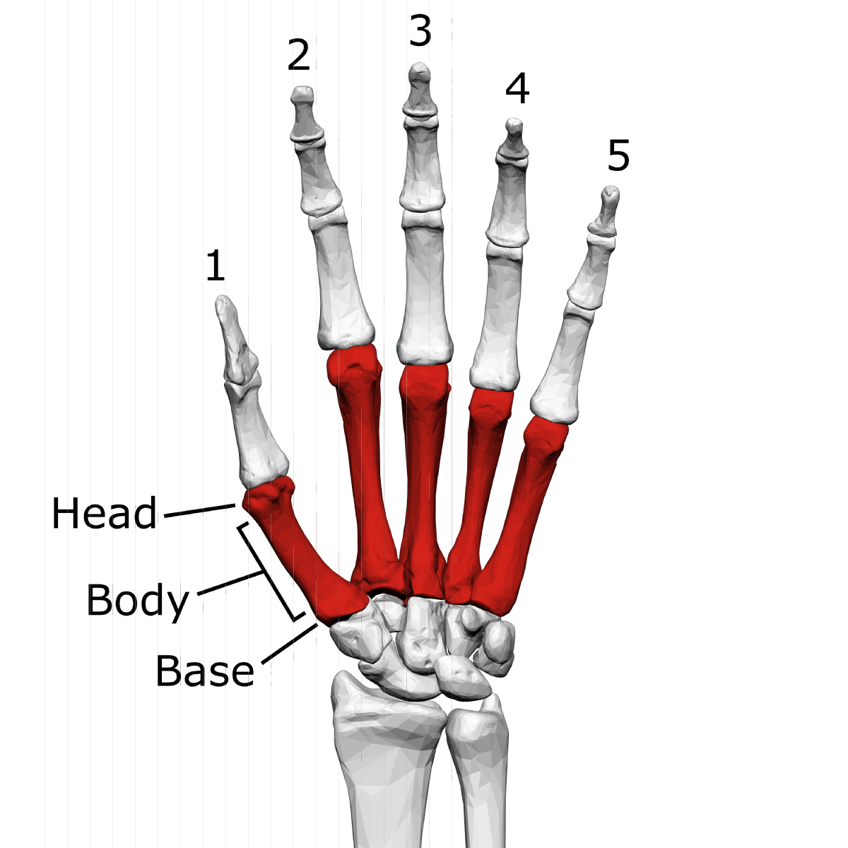 Metacarpal bone: structure, function, injury 51