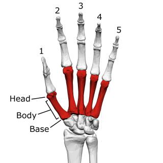 Metacarpal bones bone of hand
