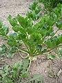 Miřík celer - Apium graveolens.jpg