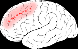 Middle frontal gyrus.png