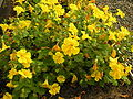 Mimulus guttatus.Phrymaceae.jpg