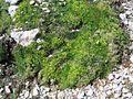 Minuartia sedoides PID1398-2.jpg