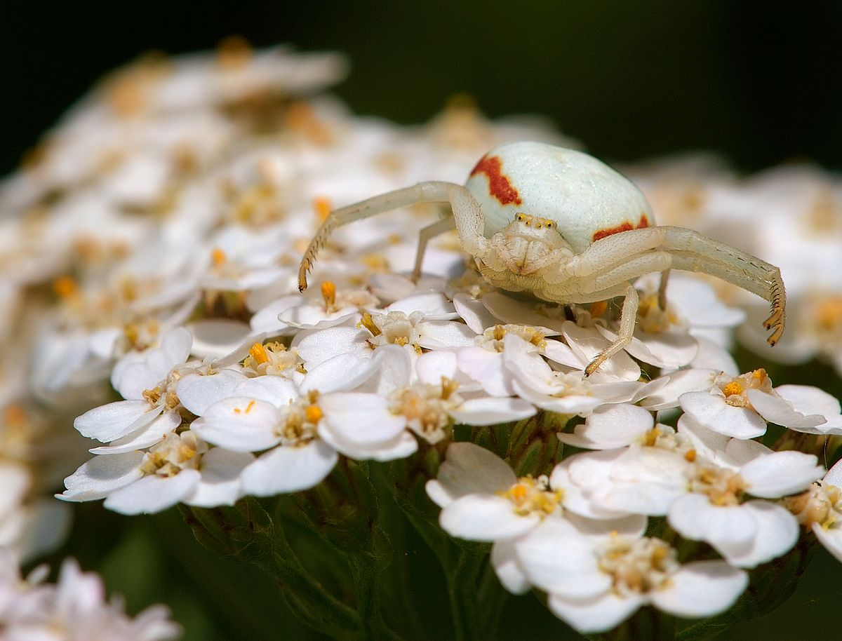 Flower crab spider - Wikipedia