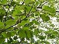 Mitragyna parvifolia (Roxb.) Korth. (28926724846).jpg