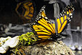 Monarch Butterfly Taxidermy 05.jpg