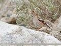 Mongolian Finch (Bucanetes mongolicus) (48701035426).jpg