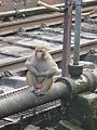 Monkey in Haridwar Station WTK20150912-IMG 0440.jpg