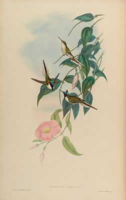 "Abbildung des Goldhauben-Schmuckkolibri in ""A monograph of the Trochilidae, or family of humming-birds"" von John Gould"