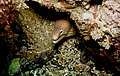 Moray eel - Poor Knights Islands - 4329644068.jpg