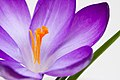 More crocus (3499961516).jpg