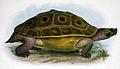 Morenia ocellata.jpg