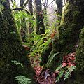 Mossy trees and licorice ferns at Evans Creek Preserve.jpg