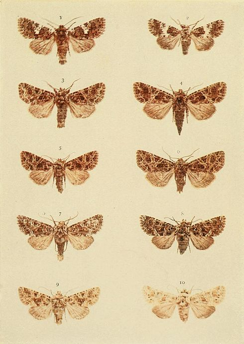 Moths of the British Isles Plate124.jpg