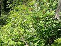 Mountain Ash (Sorbus scopulina) at Waterton Lakes National Park - Flickr - Jay Sturner.jpg