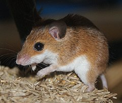 Mouse eating seeds.jpg