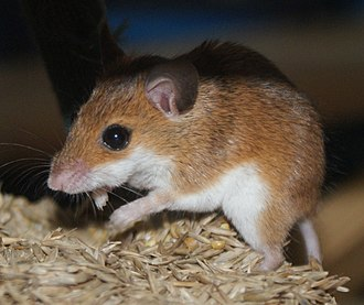 Seed predation - Mouse eating seeds