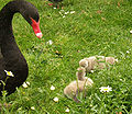 Ms.Tea - black swan and cygnets (by).jpg