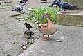 Mum Duck with 2 Ducklings (17022705889).jpg