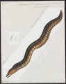 Muraena fimbriata - 1864 - Print - Iconographia Zoologica - Special Collections University of Amsterdam - UBA01 IZ15300051.tif