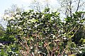 Murraya paniculata Lakeview 14zz.jpg