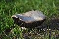 Mushroom With Black Gills.jpg
