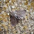 Muslin Moth (41186113755).jpg