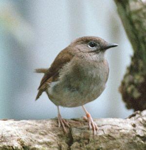 Myadestes - Puaiohi (M. palmeri)