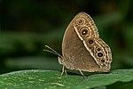 Mycalesis mineus-Kadavoor-2017-04-26-001.jpg
