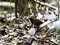 Myrmoderus eowilsoni - Cordillera Azul Antbird - male.jpg