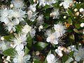 Myrtales - Myrtus communis 1.jpg