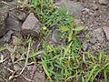 Mysore Linseed (4937832041).jpg