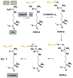 Oxido nitrico definicion muscular