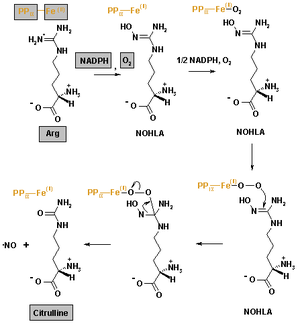 The reaction mechanism of Nitric oxide synthase