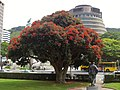 NZ 'Christmas Tree' or pōhutukawa (32625812642).jpg