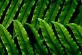 NZ Fern.(Blechnum chambersii) (11263534936).jpg