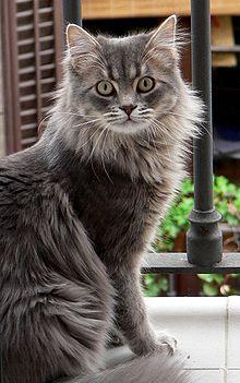 Chat à poil long