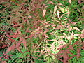 Nandina domestica Chicago.JPG