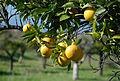 Naranjas en noviembre II.jpg