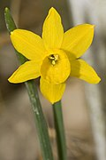 Flower of Narcissus calcicola