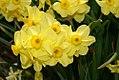Narcissus Accent 1zz.jpg