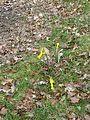 Narcissus cyclamineus x pseudonarcissus - Flickr - peganum (2).jpg